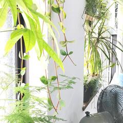 ボタニカルライフ/植物のある暮らし/グリーンのある暮らし/観葉植物/グリーン/植物/... カラッと晴れた月曜日☀︎ 蒸し暑い日が続…
