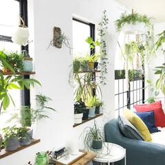 植物/ボタニカルライフ/植物のある暮らし/DIY/インテリア/イケア/... リビング写真 たくさんの植物を窓際におい…