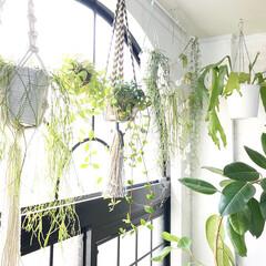 グリーンのある暮らし/ボタニカルライフ/植物のある暮らし/カーテンレール/プラントハンガー/ハンギングプランター/... アーチ窓の前にハンギングしている植物たち…