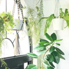 ハンギングプランター/観葉植物/植物/植物のある暮らし/グリーンのラメある暮らし/グリーン/... 昨日のアーチ窓の前にぶら下げている植物た…