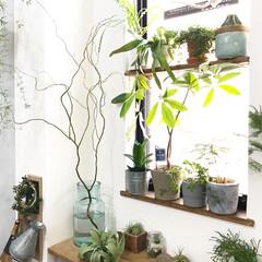 ボタニカルライフ/植物/グリーンのある暮らし/植物のある暮らし/花瓶/ウンリュウヤナギ/... リビングの角に大きめの花瓶をおいてウンリ…