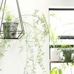 ハンギングプランター/ハンギングバスケット/アスパラガススプレンゲリー/植物/グリーンのある暮らし/植物のある暮らし/... アイアンのハンギングバスケットを天井から…(1枚目)