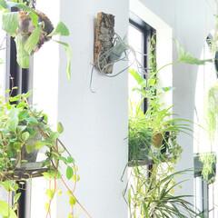 リビング/インドアグリーン/グリーンのある暮らし/植物のある暮らし/棚/植物/... おはようございます☀︎ この前この窓際の…