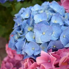 あじさい/梅雨/梅雨対策/雨対策/梅雨対策アイテム/梅雨便利グッズ 梅雨の前に紫陽花。晴れた空と紫陽花もまた…