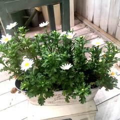ガーデニング/冬のお花/ノースポール 冬のお花の中では好きなスノーポール♡ 次…