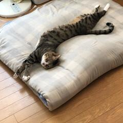 癒される/面白いポーズ/ペット 寒い時は丸まって寝てるのに、暑くなると変…(4枚目)