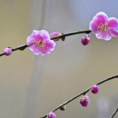 小さい春 梅