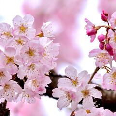 小さい春 春めき桜