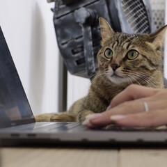 釘付け/パソコン/cat/猫 パソコンしてるとデスクで一緒に画面に釘付…