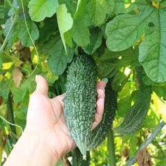 自家製/園芸/ゴーヤサラダ/夏野菜/ゴーヤ 毎年実家のお庭で育てているゴーヤ♬夏にな…(2枚目)