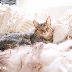 ネコ/猫/ラグ/ファーラグ/ファー/ペット 肌寒くなってきたので、ファーラグを出した…