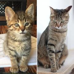 ねこ/ネコ/猫/ペット リムが産まれて2ヶ月と、3年の違い♪ 毛…