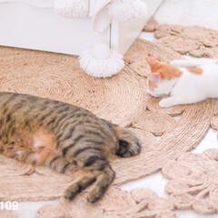 猫/疲れ寝/爆睡/ペット リムとココで大運動したあとは、疲れて床で…(1枚目)