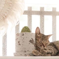 枕/cat/ねこ/ネコ/猫 モノをすぐ枕にするリム。 自分の前足を枕…(1枚目)