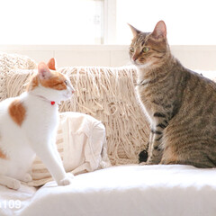 対談/cat/ネコ/ねこ/猫 猫同士の対談。リムとココが向き合ってしば…