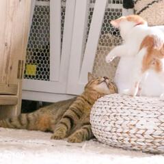 ちょっかい/猫/ペット まーたココちゃんはリムちゃんにちょっかい…