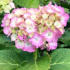 平塚/花の写真/5月/五月/あじさいまつり/あじさい/... こんにちは(o^^o) いつもありがとう…