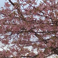 雨/曇り/晴れ/満開の桜/花の写真/満開/... こんばんは(o^^o) いつもありがとう…