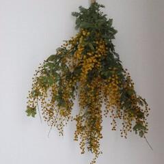 ミモザ/スワッグ/春 庭のミモザが20年経ち、大木になりました…