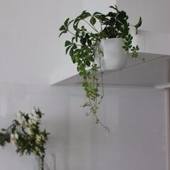 花のある暮らし/キッチン/換気扇/パナソニック マグネット付きの鉢にシュガーパインを植え…