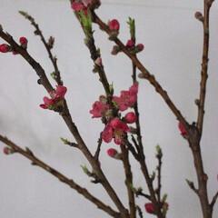 桃の節句/桃の花/キッチンカウンター 桃の花(^^♪