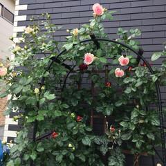 植物 綺麗な薔薇を見て 今日も仕事がんばりまー…