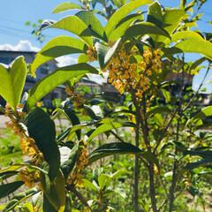 植物 我が家の金木犀、、、もうすぐ満開 素敵な…