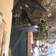 グリーンインテリア投稿コンテスト/フェイクグリーン/鳥かご 天井からつるすインテリア。 空間を上手に…