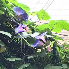 日除け対策/夏の花は琉球朝顔の会/みんなにおすすめ まだまだ、「琉球朝顔」が沢山、咲いてます…