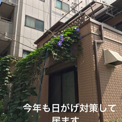 植物/我が家の暑さ対策 家の暑さ対策です。 植物の(琉球朝顔」 …