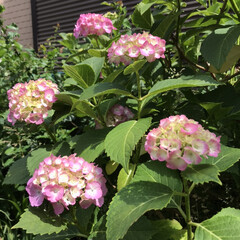 季節の花たち 我が家の花達てす。  紫陽花の季節になり…