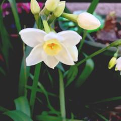 春の植物/水仙/フォロー大歓迎 水仙です。少し花の色がクリーム色で雌しべ…