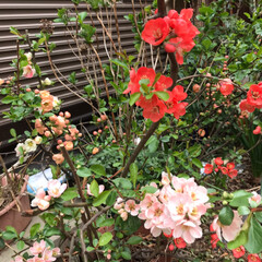 お花の仲間募集中/ボケの花 昨年の春に咲いたボケの 花です。 結構、…(3枚目)