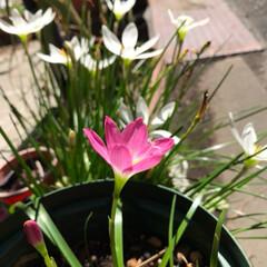 植物を育てる/玉すだれ ピンクの玉すだれが咲きました。白い玉すだ…(2枚目)