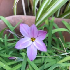 テンダーポール (1ml)野菜種/花ニラ 923891(その他種、種子)を使ったクチコミ「今日は花にらの紫色です。 球根の増えすぎ…」