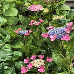 季節の花たち 我が家の花達  今は紫陽花が終わりに掛か…