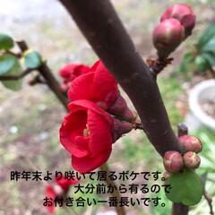 お花の仲間募集中/ボケの花/フォロー大歓迎 家に長く居るボケ 毎年、沢山の花を 咲か…