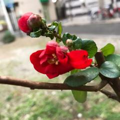 赤いボケの花/植物の強さ もうボケの花が咲きましたよ❣️ 先月、枝…