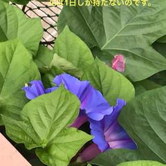 夏花/琉球朝顔 とても強い琉球朝顔です。増え方は葉っぱの…