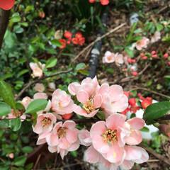 お花の仲間募集中/ボケの花 昨年の春に咲いたボケの 花です。 結構、…(4枚目)