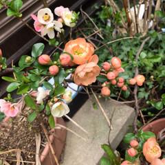 お花の仲間募集中/ボケの花 昨年の春に咲いたボケの 花です。 結構、…(2枚目)