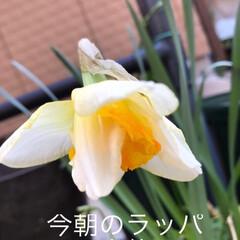 ラッパ水仙好きな方、集まれ〜!/私の小さな春/小さい春 今日は朝と夕方にラッパ水仙を 撮って見ま…