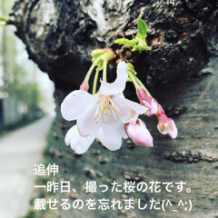 桜の花 一昨日、撮った写真です。 桜🌸の花です。