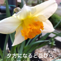ラッパ水仙好きな方、集まれ〜!/私の小さな春/小さい春 今日は朝と夕方にラッパ水仙を 撮って見ま…(2枚目)