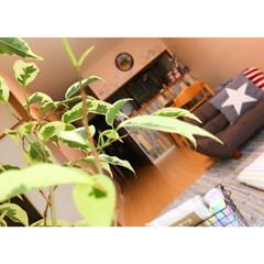 リビングインテリア/観葉植物/グリーンのある暮らし/インテリアグリーン/ベンジャミン/DIY/...