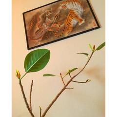 観葉植物のある暮らし/グリーンのある暮らし/フィカスアルテシマ/和室インテリア/DIY/雑貨/...