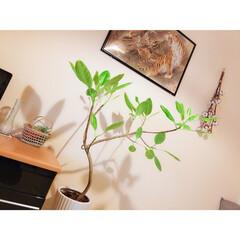 インテリア雑貨/和室インテリア/フィカスアルテシマ/ドライフラワーのある暮らし/観葉植物のある暮らし/グリーンのある暮らし/... g'morning◡̈⃝♥︎ 和室のフィ…