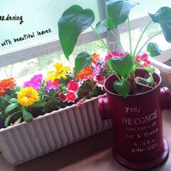 ベランダ/ベランダガーデニング/ガーデニング初心者/ガーデニング/観葉植物/グリーン/... 天気良くて観葉植物たちも出して葉水やりま…
