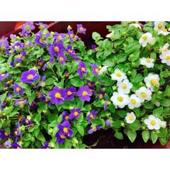 ナチュラルインテリア/観葉植物のある暮らし/グリーンのある暮らし/花のある暮らし/ベランダ菜園/ベランダガーデン/...
