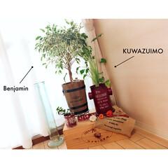 インテリアグリーン/クワズイモ/アイビー/ベンジャミン/りんご箱/ガラス花瓶/...